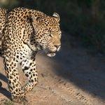 Leopard at Leopard Hills