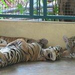 """""""Large"""" Tiger"""