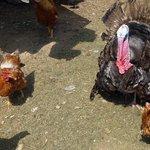 Yiadim turkey with hens