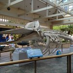 Sperm whale skeleton on display at the Village