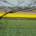 Campos de tulipas