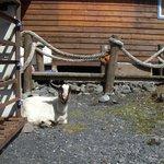 Goat ~ Kenai
