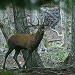 Cervo maschio (G. Giacomini)