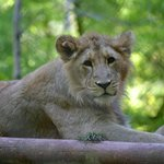 Lioness at Paignton Zoo