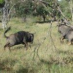 bulls' fight