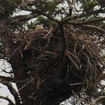 Eagle in its nest