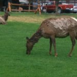Elk across the street from the hotel (not a view from room)