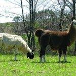 Our Llamas, Koko and Susie