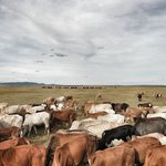 Herding on the mara