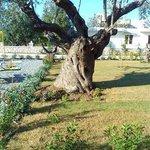 Flora restaurant's garden olive oil tree