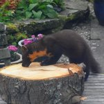 Pine Marten here for its peanut butter !
