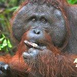 Amazing close encounters with rehabilitated orangutans