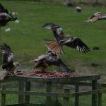 Red Kite Feeding Station