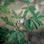 Sensitive Plant, Mimosa pudica