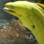 Moray eel with shrimp friend
