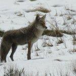 Lone coyote stalking some cow elk