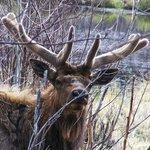 Curious bull elk
