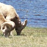 The elusive Big Horn sheep