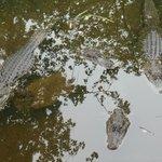 Alligator area