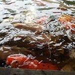 Koi Fish Gardens