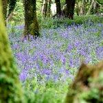 Bluebells in the adjacent wood