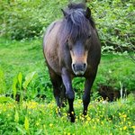 One of the resident ponies