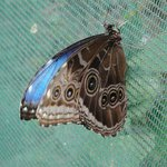 blue morpha butterfly w/wings closed