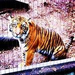 Pretty Tiger :)