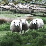 Grazing sheeps
