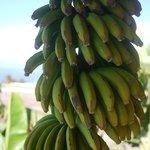 Bananes du jardin