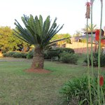 beautiful cycad tree