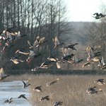 Waterfowl taking Flight
