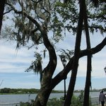 Cypress tree along the river