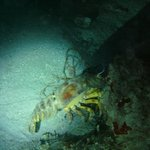 slipper lobster on night dive