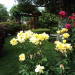 Roses in the yard