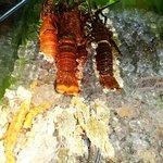 Omani lobsters