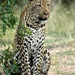 Amazing Leopard sighting was the highlight of the trip