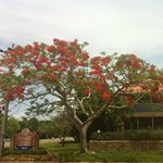 flowering tree at entrance to sanibel arms