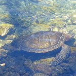 One of several turtles swimming in the Lagoon.
