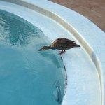 Un par de patos iban todas las tardea a refrescarse en el agua