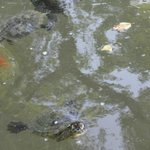 парк на острове Маргит- пруд с черепашками