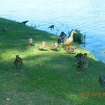 A family of ducks looking for food