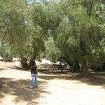 Ojai Olive Oil Ranch