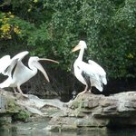 The Pelicans in St James Park