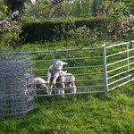 lambs in garden!