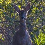 Deer In The Field Behind B&B