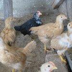 Le galline