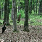 Wild turkeys in the forest at the second stop - The Battleline