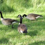 Canadian geese on the property