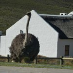 Here come the ostriches